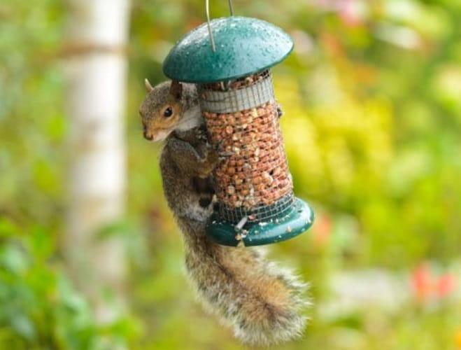 Tenere Gli Scoiattoli Lontani Dal Mangime Per Uccellini