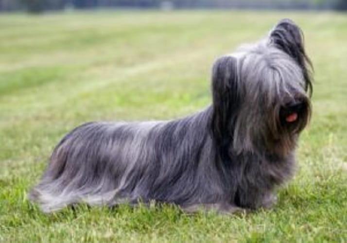 Lo Skye Terrier