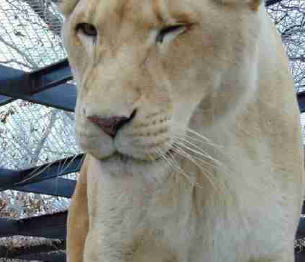Screenshot 2020 12 11 Sheila The Lonely Lioness Finally Became Happy Through Her New Neighbor Page 7 Of 55 Interesticle