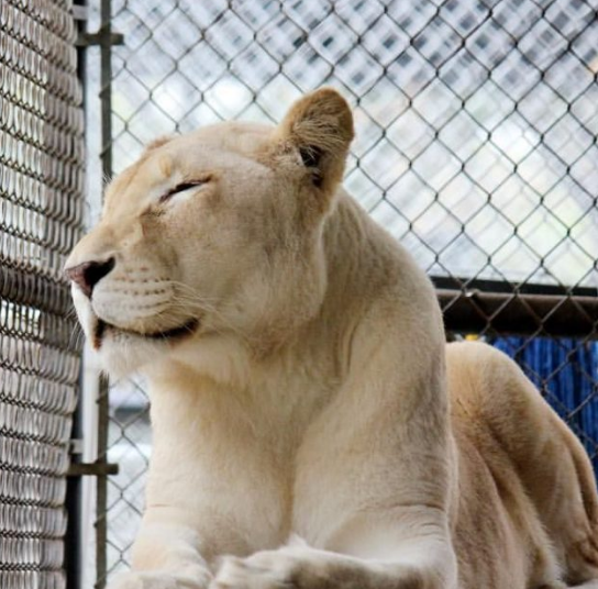 Screenshot 2020 12 11 Sheila The Lonely Lioness Finally Became Happy Through Her New Neighbor Page 12 Of 55 Interesticle