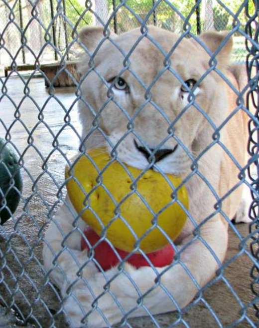 Screenshot 2020 12 11 Sheila The Lonely Lioness Finally Became Happy Through Her New Neighbor Page 17 Of 55 Interesticle