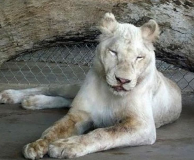 Screenshot 2020 12 11 Sheila The Lonely Lioness Finally Became Happy Through Her New Neighbor Page 19 Of 55 Interesticle