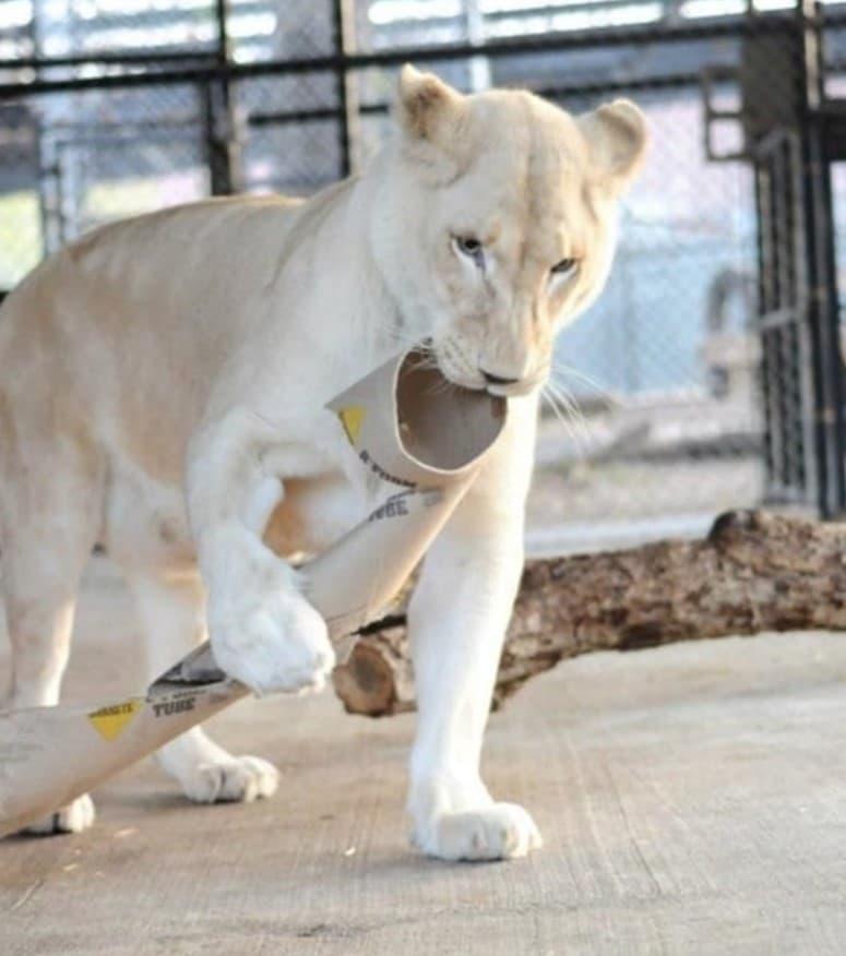 Una leonessa giocherellona