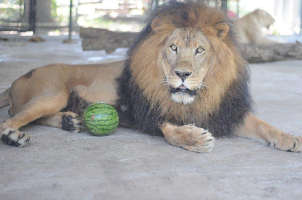 Un leone meraviglioso