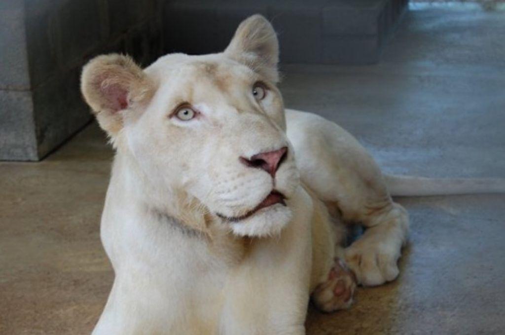 Una leonessa molto coraggiosa!