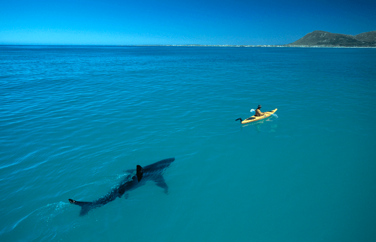 El Tiburón Blanco No Tiene Miedo