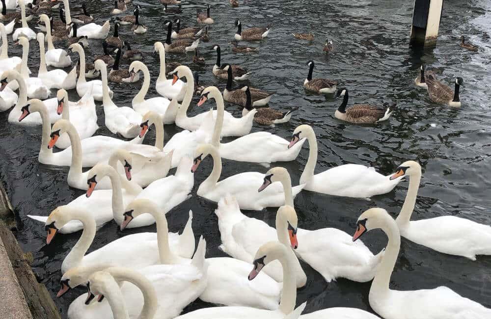 Les Cygnes De La Rivière Thames