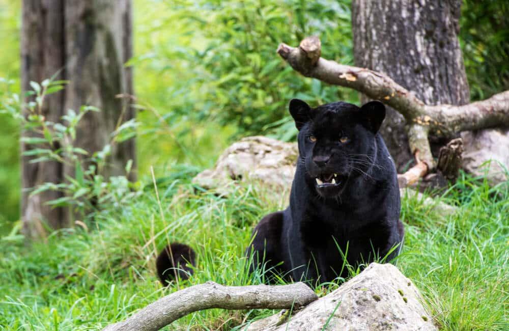 Deux Jaguar Noirs