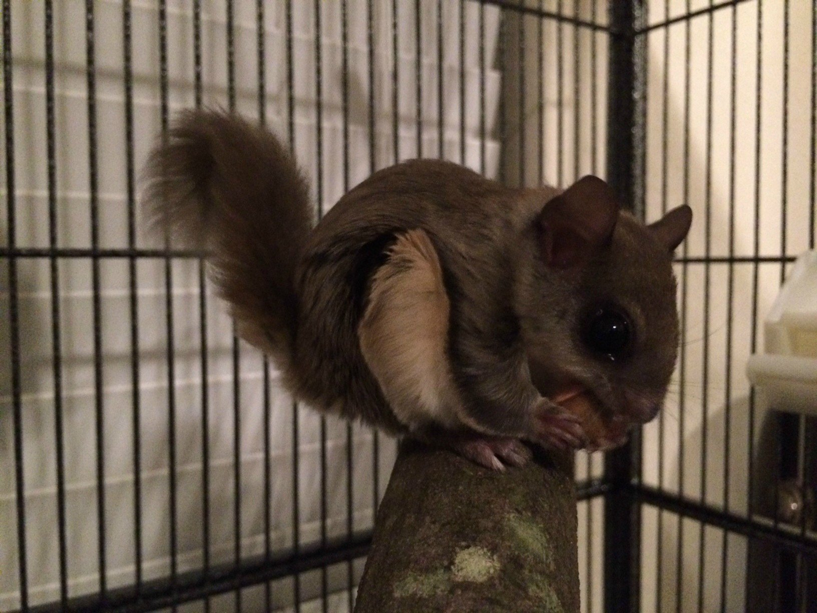 A Southern Flying Squirrel