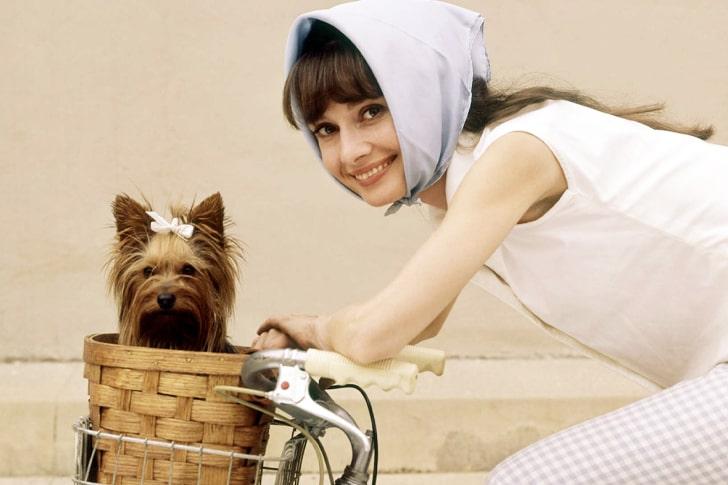 Audrey Hepburn – Yorkshire Terrier