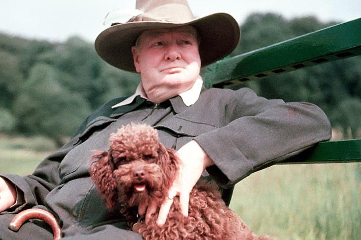 Winston Churchill – Miniature Poodle
