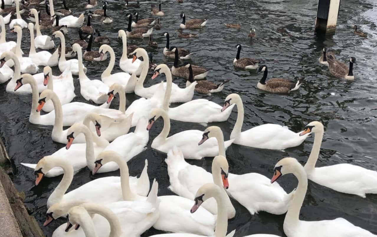Thames Nehri'ndeki Bütün Kuğular