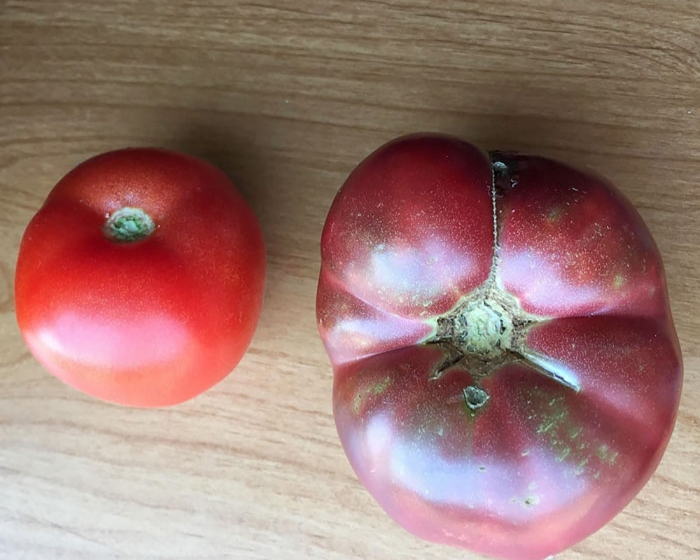 Modern Tomato Vs. 150 Year Old One