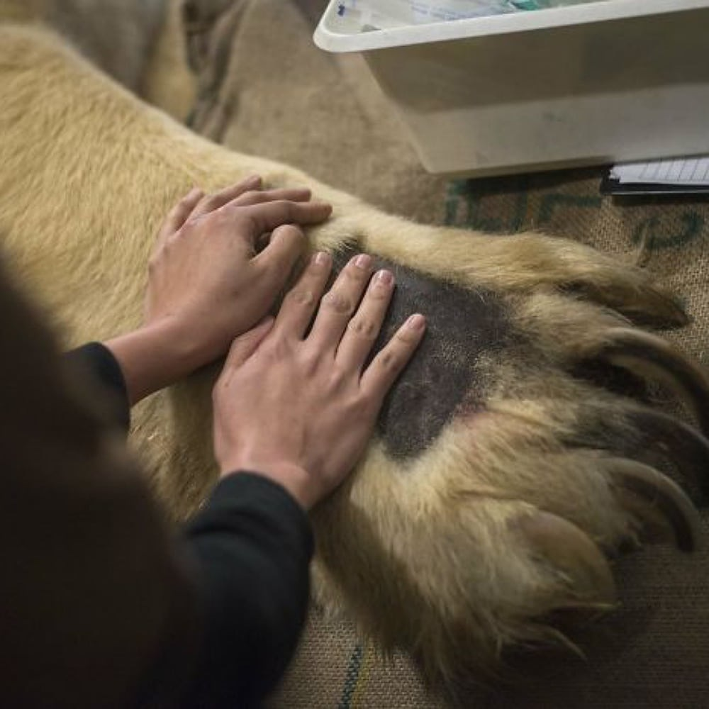 Polar Bear Paws Vs. Human Hands