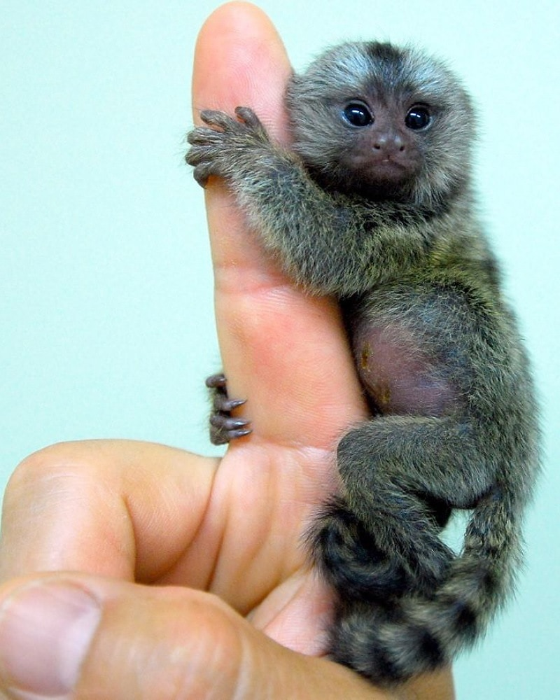 A Baby Monkey Vs. Human Hand