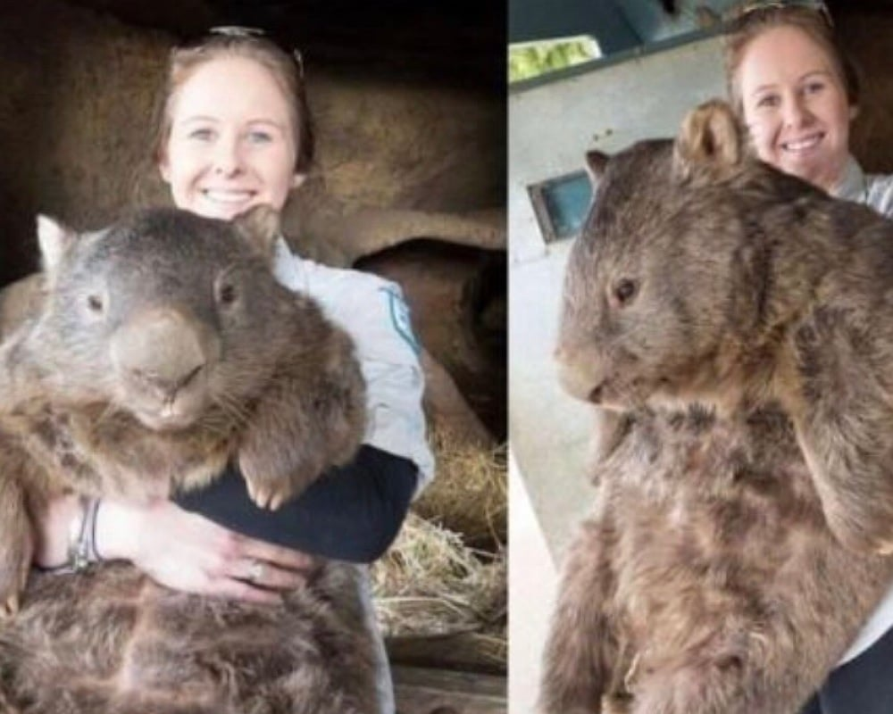 How Big Is A Wombat