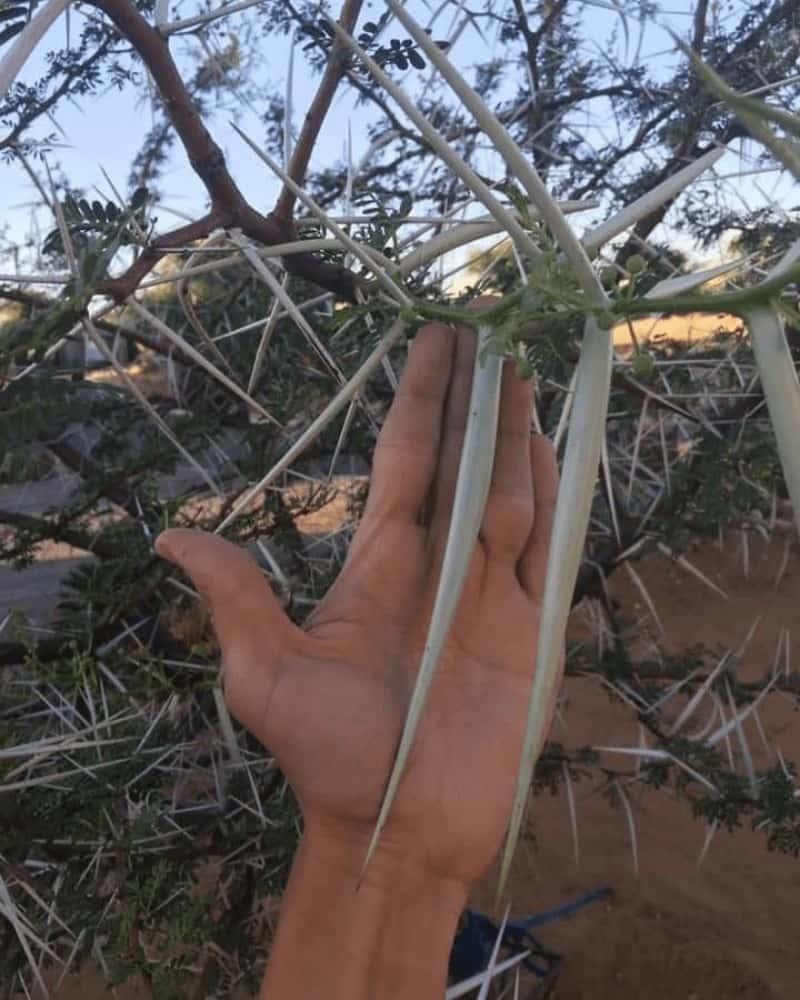 Acacia Erioloba Thorns Are So Long