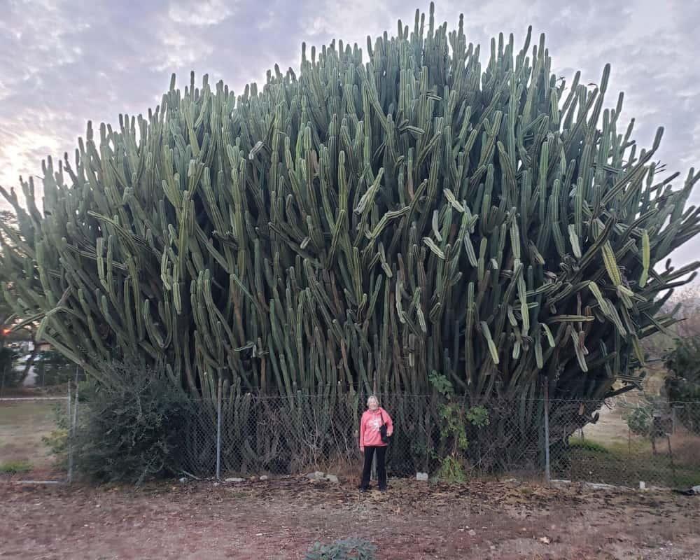 Cactus Can Grow Huge
