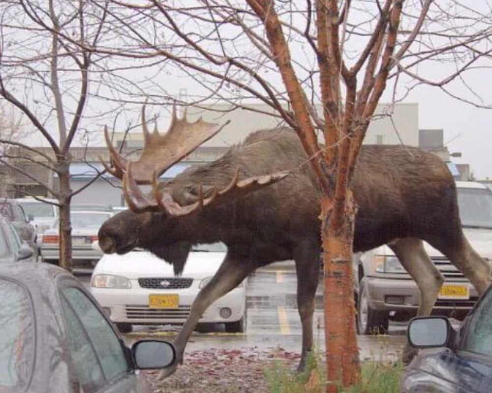 A Moose Vs. A Tree