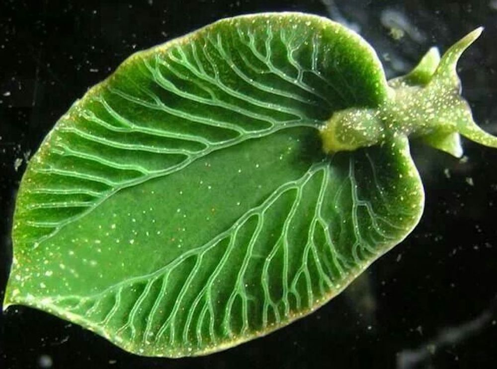 Green Sea Slug