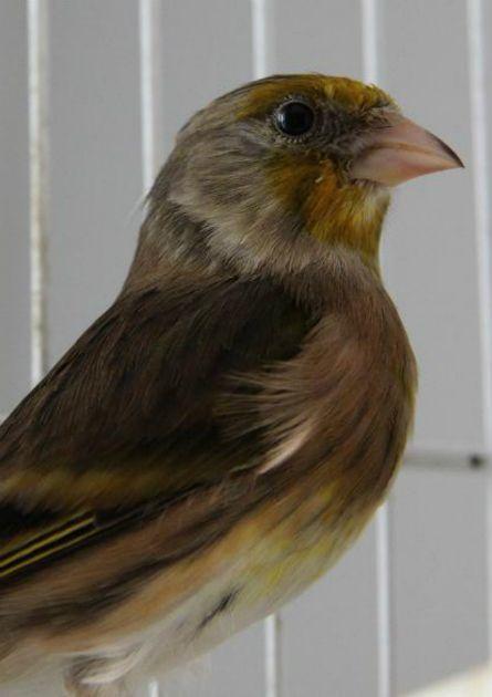 Mule Bird