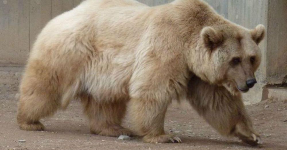 Grolar Bear