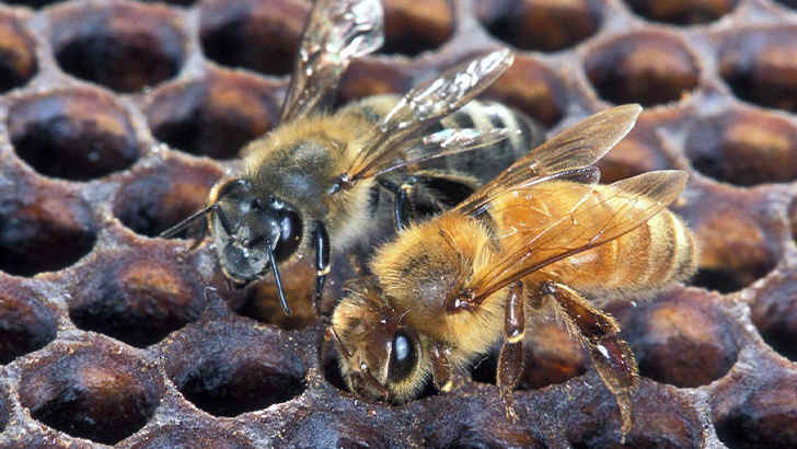 Africanized Honey Bee