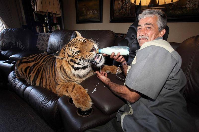 Taking Care Of A Grown Tiger