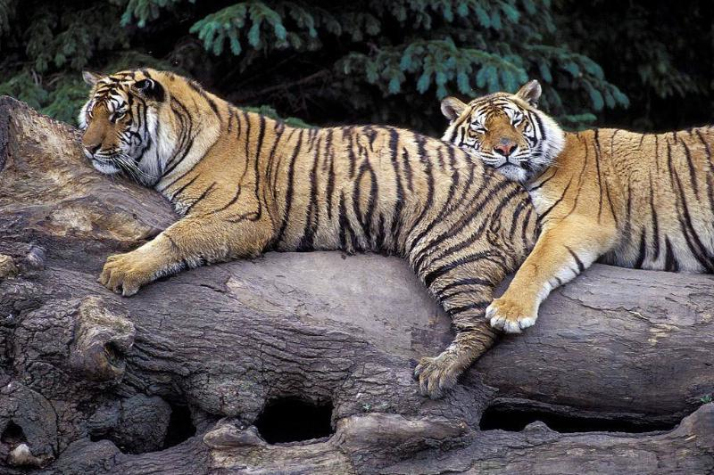 Together With Other Tigers