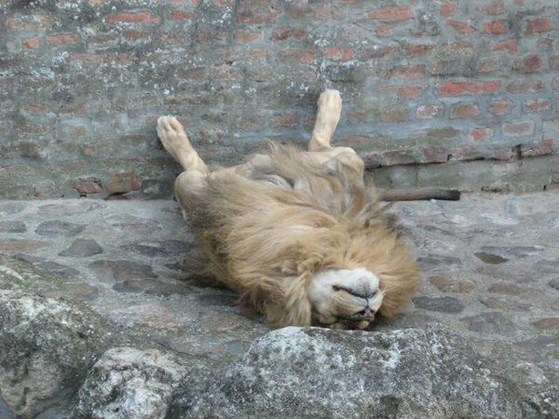 The King Of The Jungle Is Fast Asleep