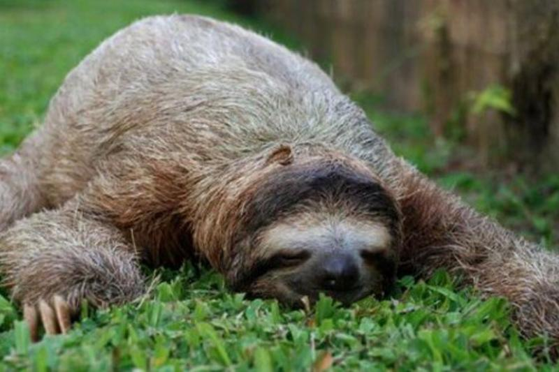 What A Sloth Looks Like While Sleeping