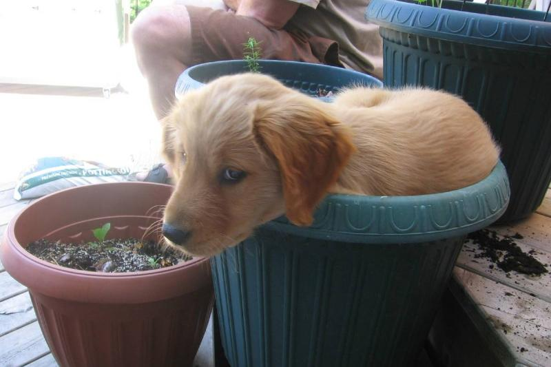 Puppy In A Planter Pot