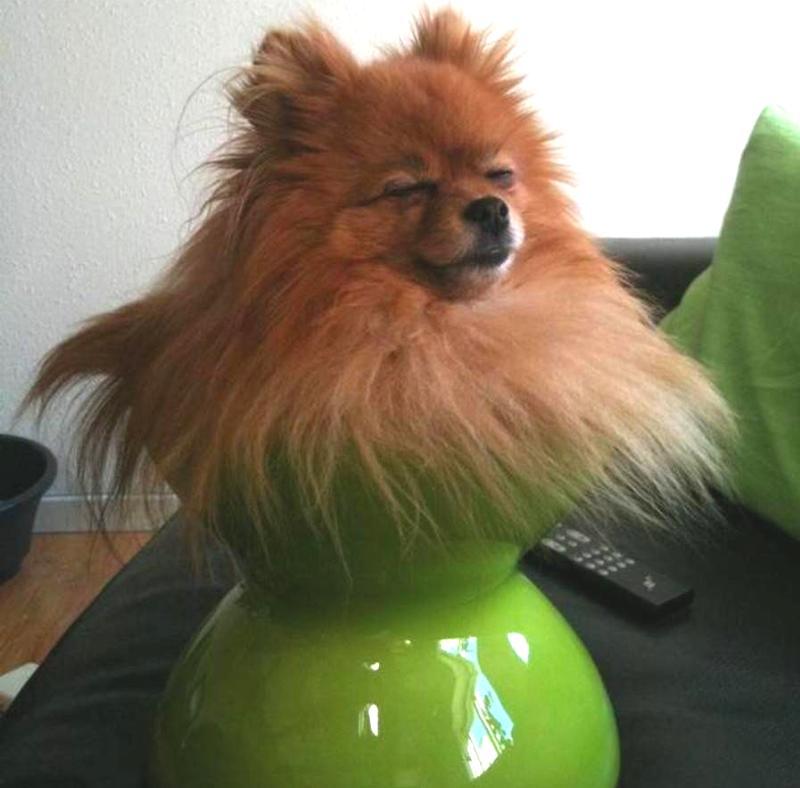 A Pomeranian Bouquet